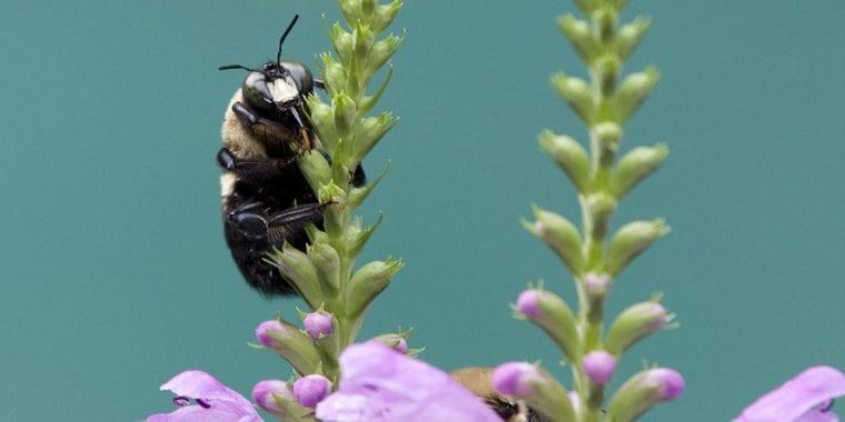 bumblebee-pollinators
