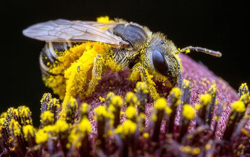 sweatbee_alexwild_pollinators