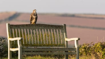 Buzzard on a Bench at St Enodoc Golf Club