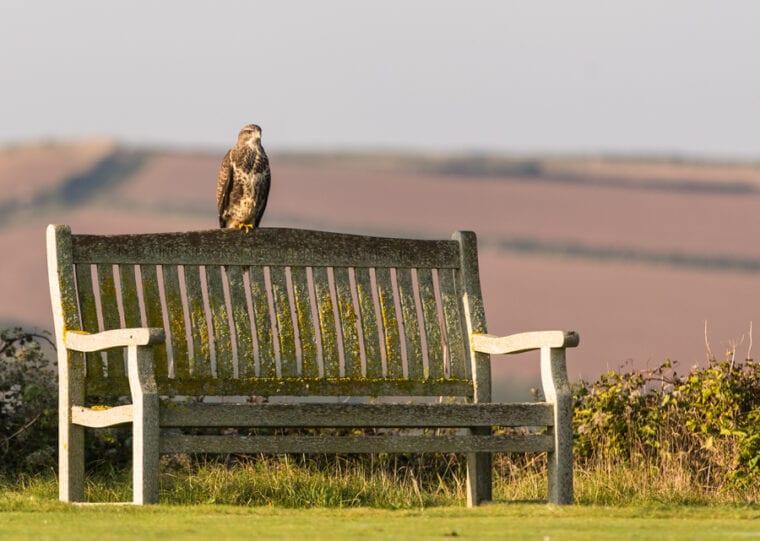 Buzzard on a Bench at St Enodoc Golf Club