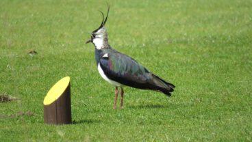 wildlife conservation Lapwing at Avro Golf Club