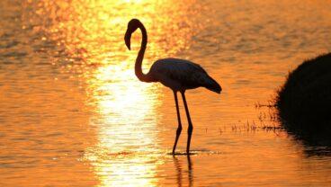 Greater Flamingo at Saadiyat Beach Golf Club-final